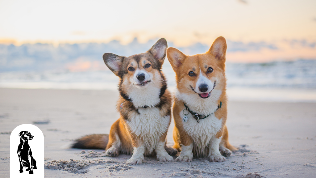 Do Corgis Shed? Breaking Down the Hairy Details