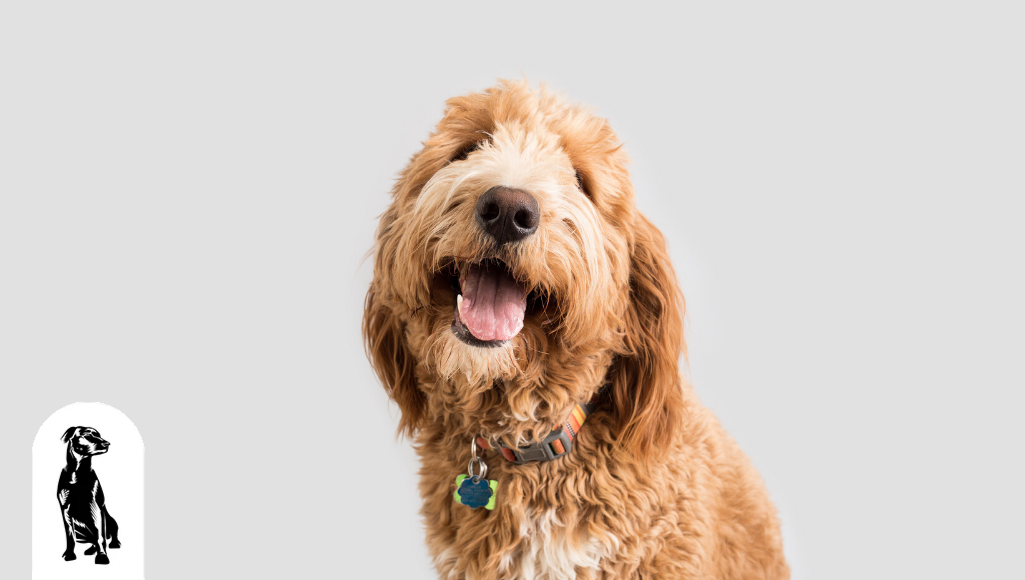 Ten Facts About the Goldendoodle