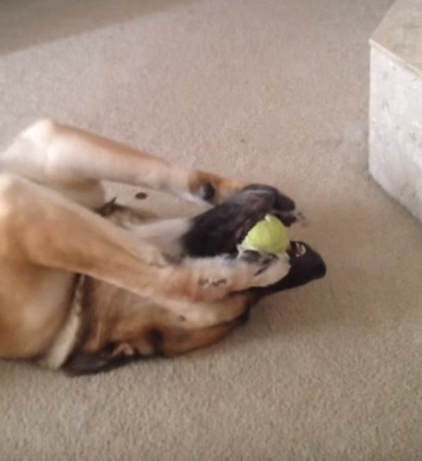 Dog Shows Off His Ball Handling Skills