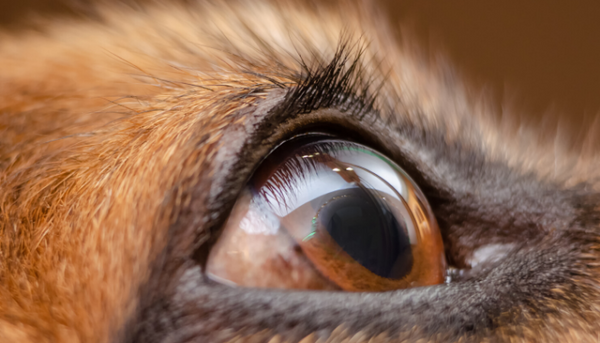 A mirror-like layer is found behind the dog's retina called tapetum lucidum and is what creates eyeshine