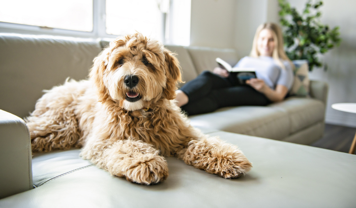 Are Doodles Really Hypoallergenic?
