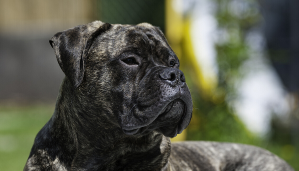 Bullmastiffs are nicknamed the Gamekeeper's Night Dog for an important reason