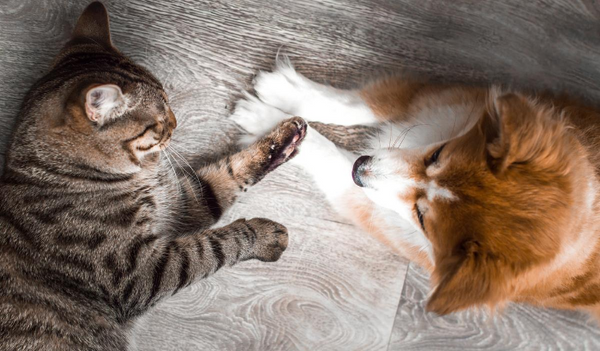 The Age-Old Question: Why Do Corgis and Cats Dislike Each Other?