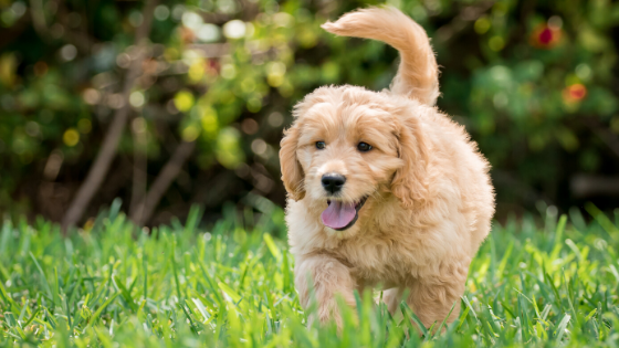 How Did Goldendoodles Become a Thing?