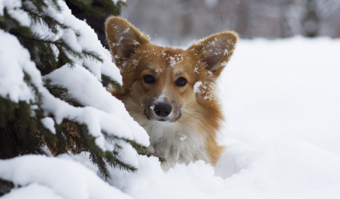Can Corgis Handle Cold Weather?