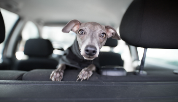 Road Trips with Your Fur Babies? Which Breeds Do Best