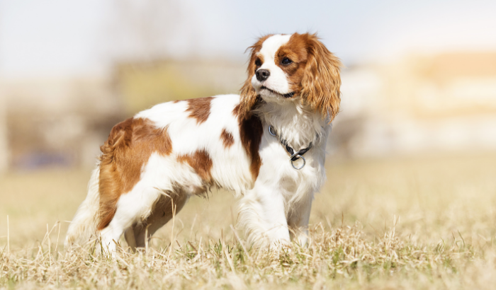 Dog Breeds and Anxiety: Which Ones Are More Prone?