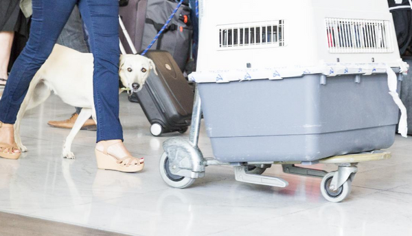 Dog Traveling By Plane? Here Are the Airline Rules