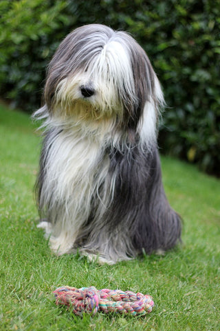 bearded collie image