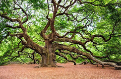 A photo of a large oak tree