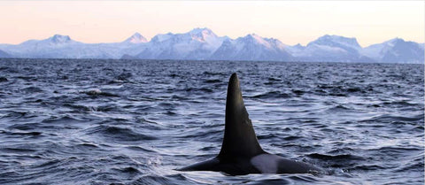 Swimming with orcas this January in Lofoten, Norway