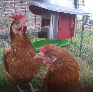 Tips on Keeping Chickens - The Top 5 Do's & Dont's