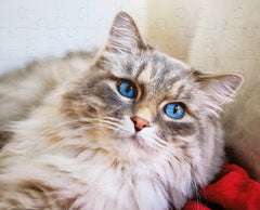 fluffy cat with blue eyes made into a custom puzzle