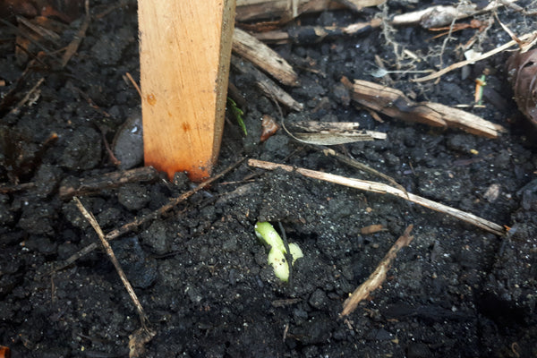 Sprouting pole bean