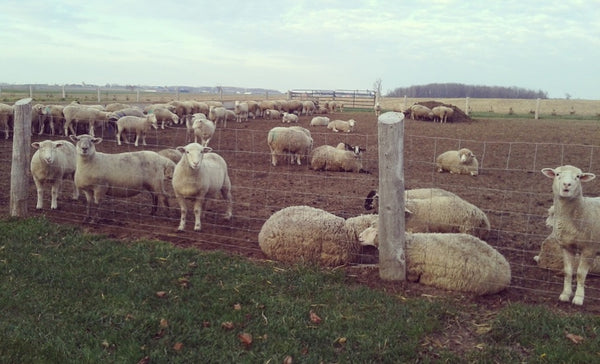 Sheep in yard at Circle R farm