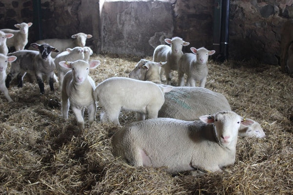 Sheep in barn at Circle R