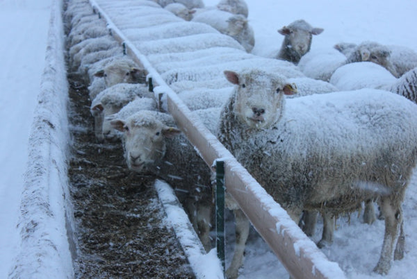 Sheep feeding at trough in winter