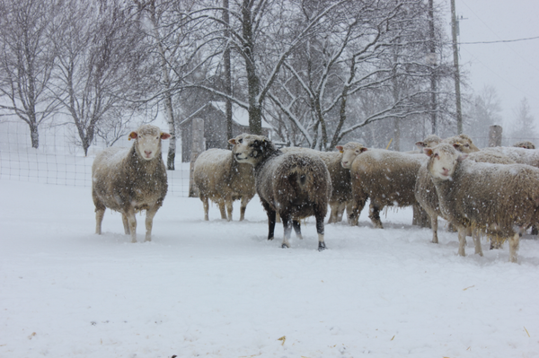 Sheep in winter at Circle R