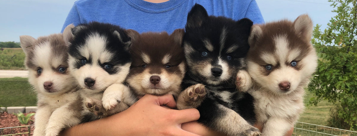 Available Pomsky Puppies For Sale Nationwide   Maine Aim