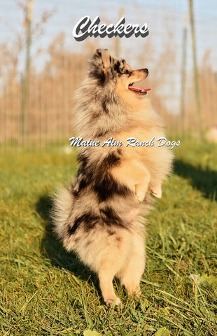 Checker the Pomeranian