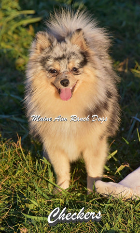 Checkers the Tri-Colored Pomeranian