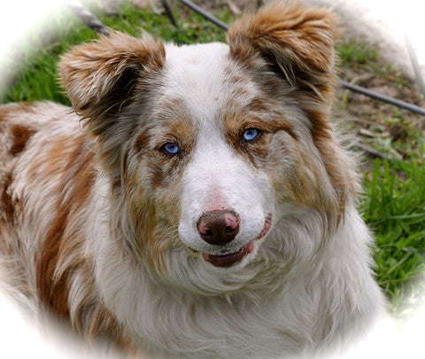 Maine Aim Ranch Dogs: Border Collie Breeders