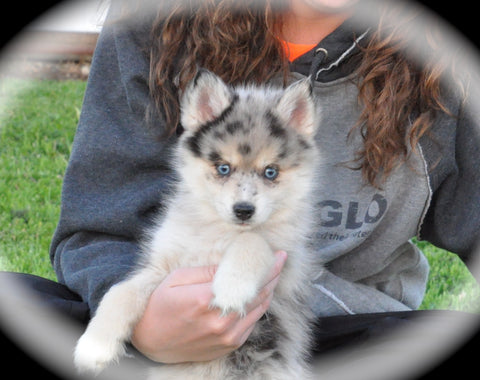 past pomsky puppies � maine aim ranch dogs