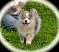 Pomsky Puppy payments ~Down Payment~Remaining Payment~Full Payment~Breeding Rights~Flight~