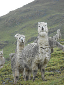 Llamas on the trail to Chaullacocha