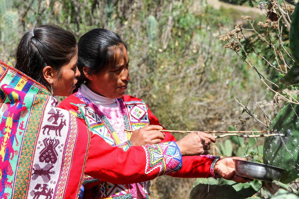 harvesting cochineal by artisans in peru