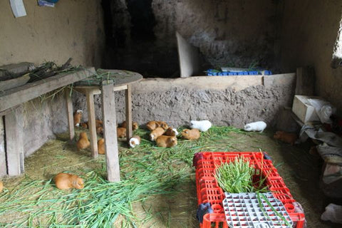 Guinea pigs being raised in Angela's house in Totora. Photo by Harrison Ackerman