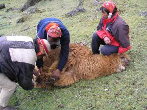 Tying up the alpaca