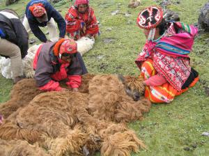 Grimaldina holds the head while the men work on cutting the wool away on the body of the animal