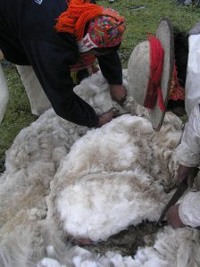 When the wool is cut away, the alpaca is very small and skinny underneath