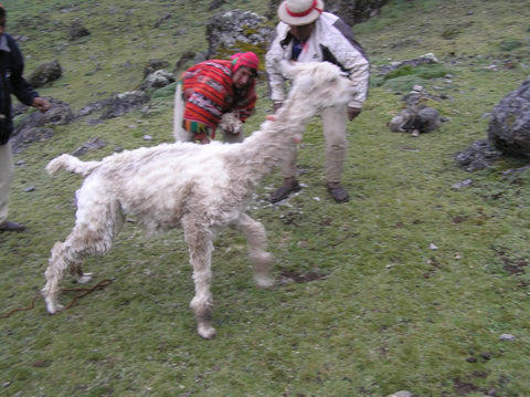 The finished product! The 'screamer' alpaca makes a disoriented getaway in the rapidly failing light