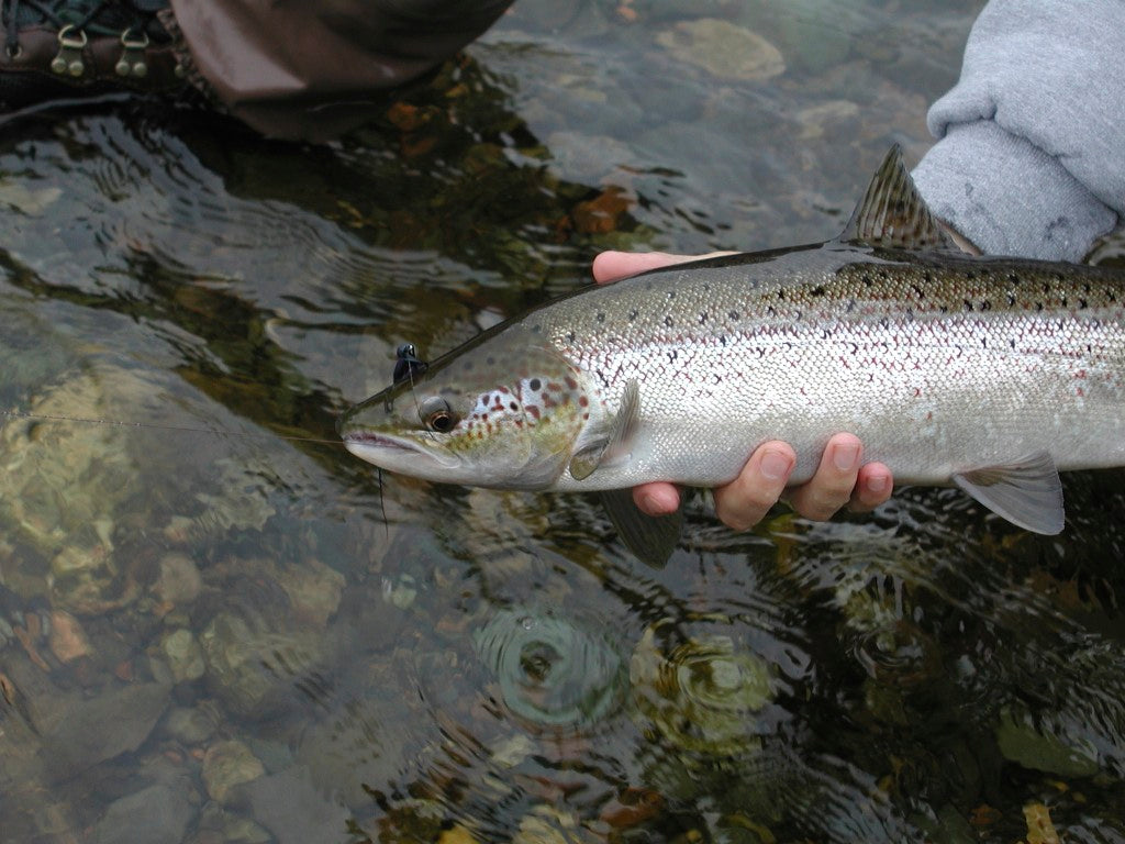 Atlantic Salmon Caught on the Fly
