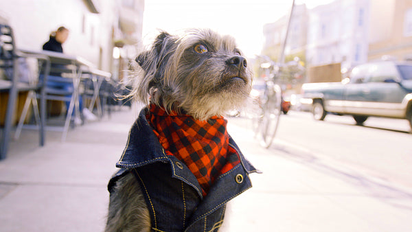 dog wearing a denim jacket
