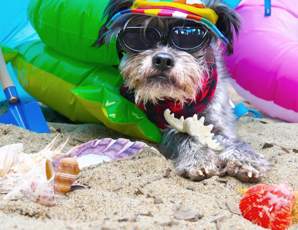Scraps the dog, lying on the beach with inflatable beach toys