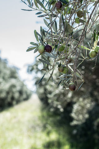 Odgers and McClelland Exchange Stores preserving olives