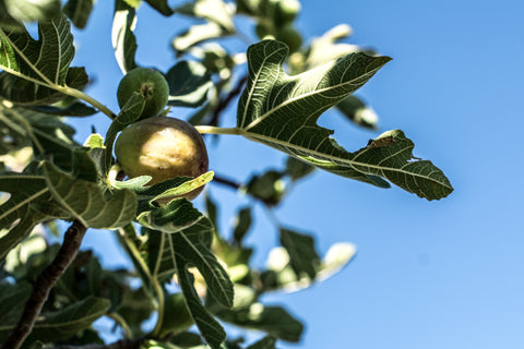 Foraging for figs
