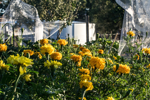 Companion planting marigolds and tomatoes