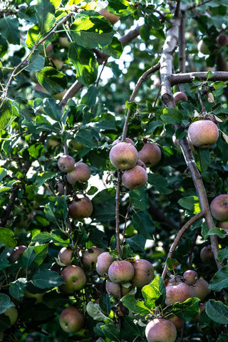 Summer harvest apple - Odgers and McClelland Exchange Stores