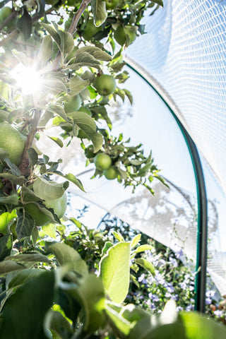 Summer harvest apples - Odgers and McClelland Exchange Stores