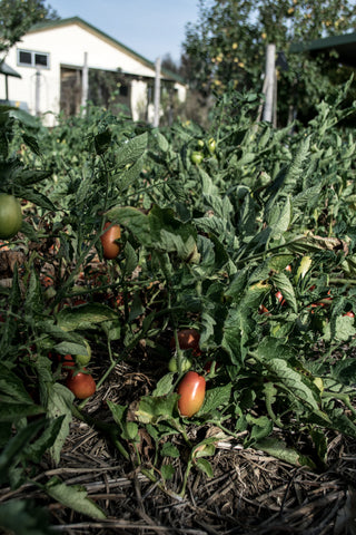 autumn tomato crop