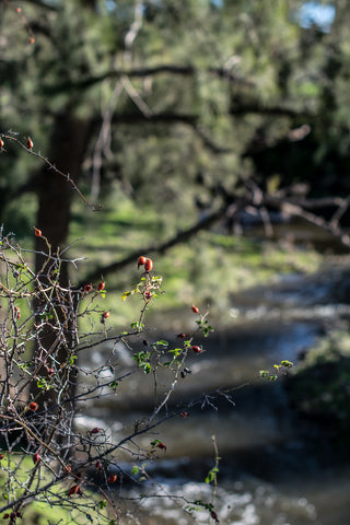 Wild rose bushes on Nundle Creek