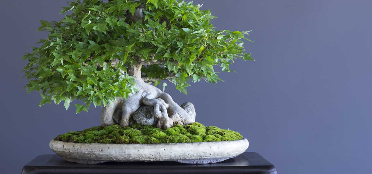introduction to the art of bonsai