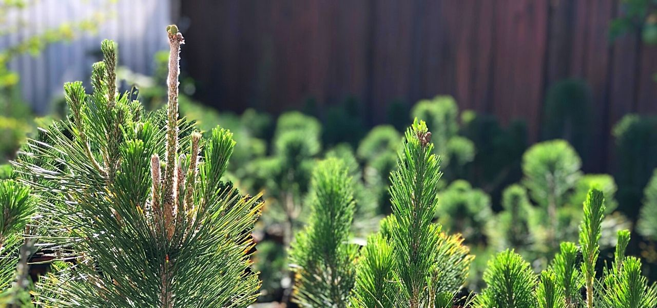 8 Tips for growing awesome shohin pine