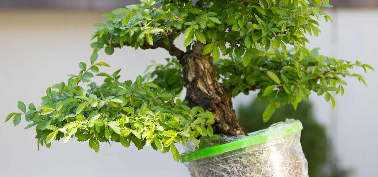 Hennie Nel Air layering a chinese elm bonsai tree