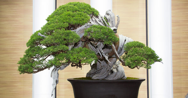 8th World Bonsai Convention, Saitama, Japan. 2017