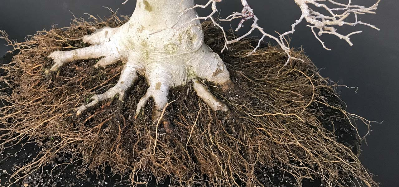 Root work on bonsai trees